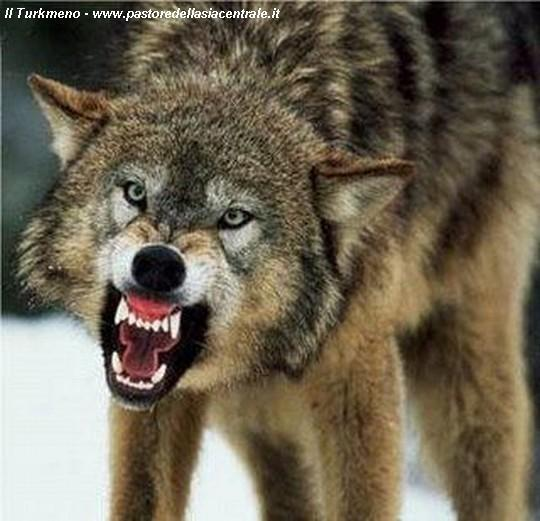 What are Wolves afraid of?