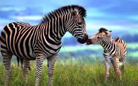 Are zebras awesome?
