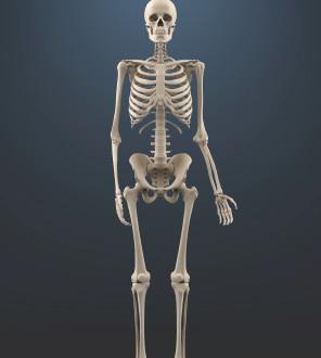 How many bones are in the human body?