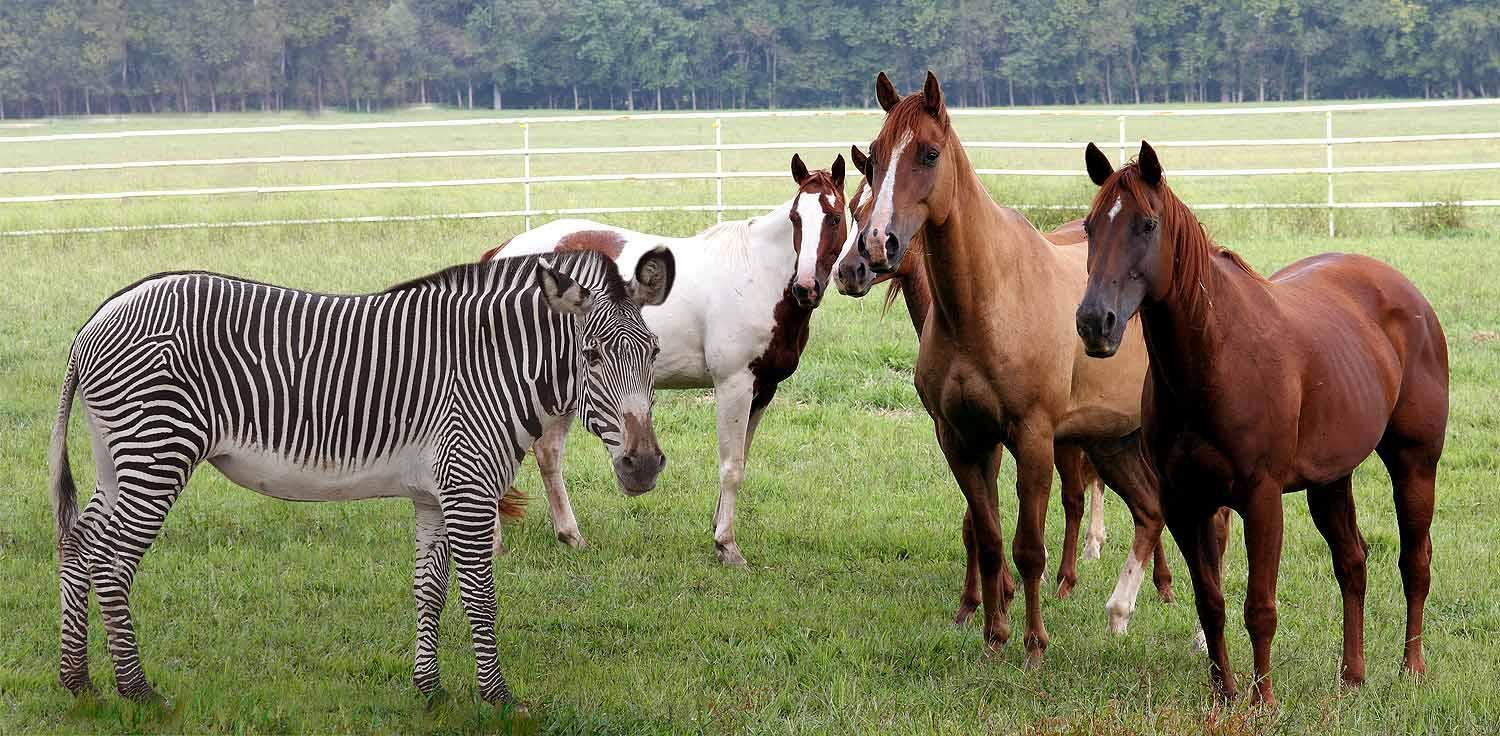 Does a horse run faster than a zebra?