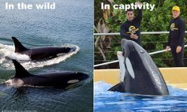 How do you feel about Orcas in captivity?