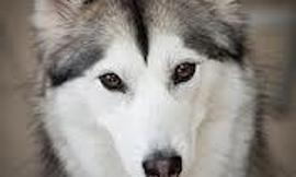 What is the difference between the Alaskan Malamute and the Siberian Husky?