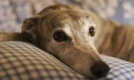 Random Facts About Greyhounds!