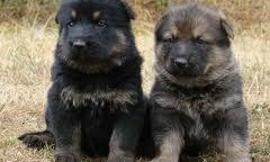 Don't German Shepherd pups look like bear cubs?