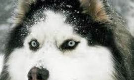 If you had a Siberian Husky, what would you call him/her?