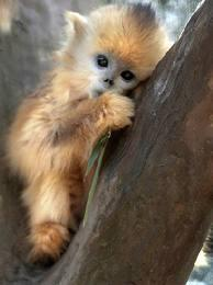 Is there such thing as a miniature monkey and can you have them as pets?