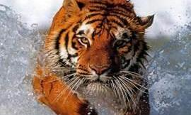 Why are some tiger's fur orange?