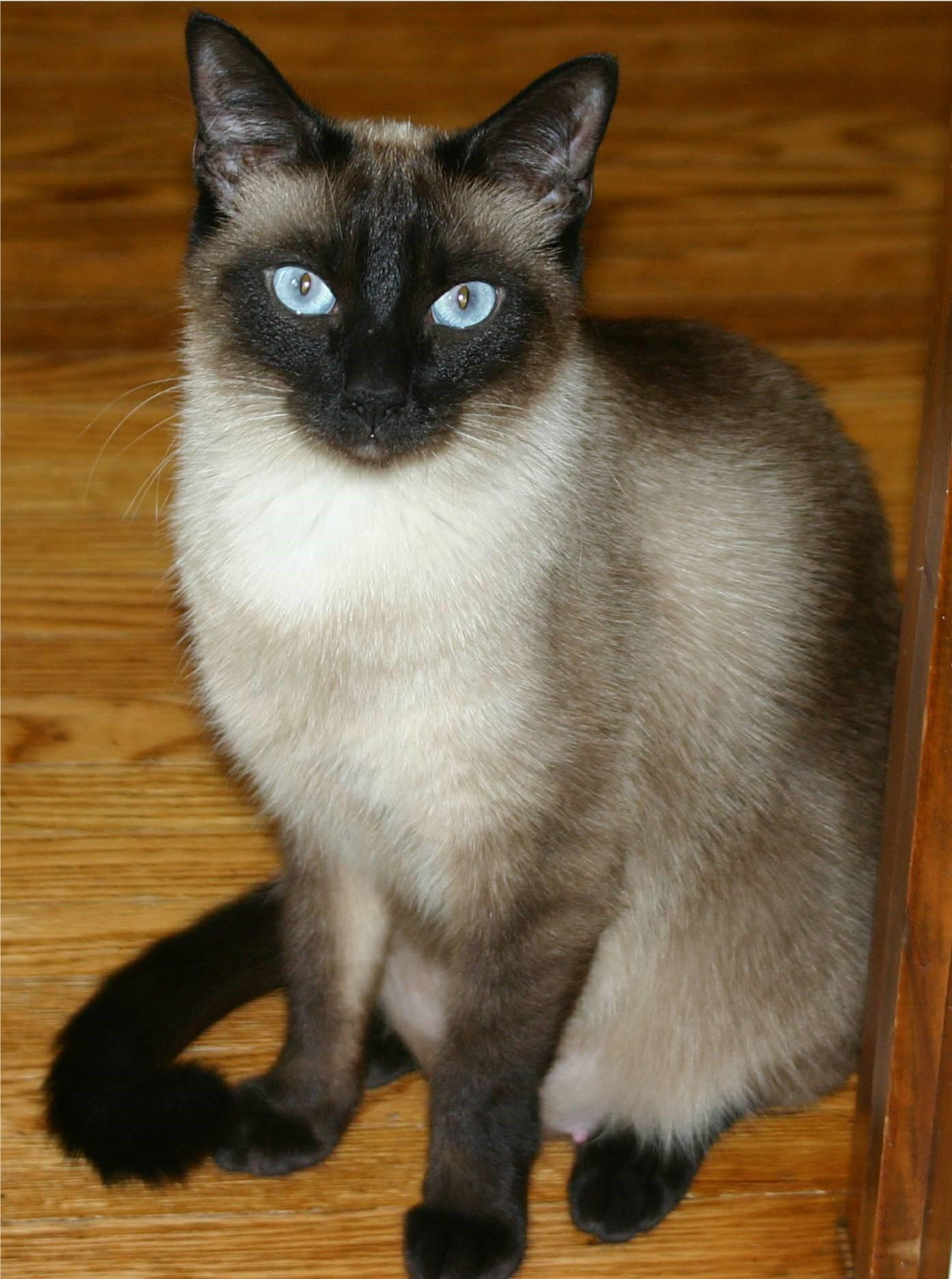 I am Siamese but you don't please