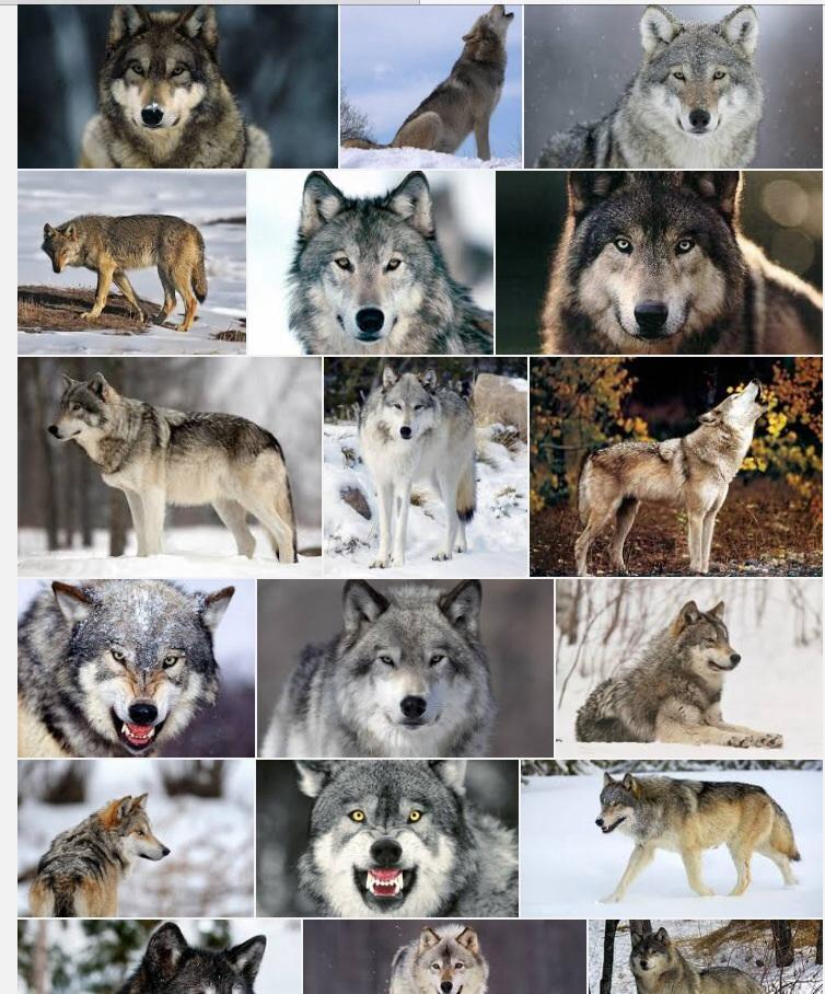 Favorite animal if you like wolfs star or like this photo