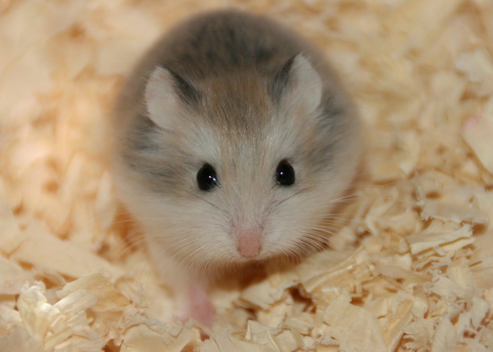 white dwarf hamster