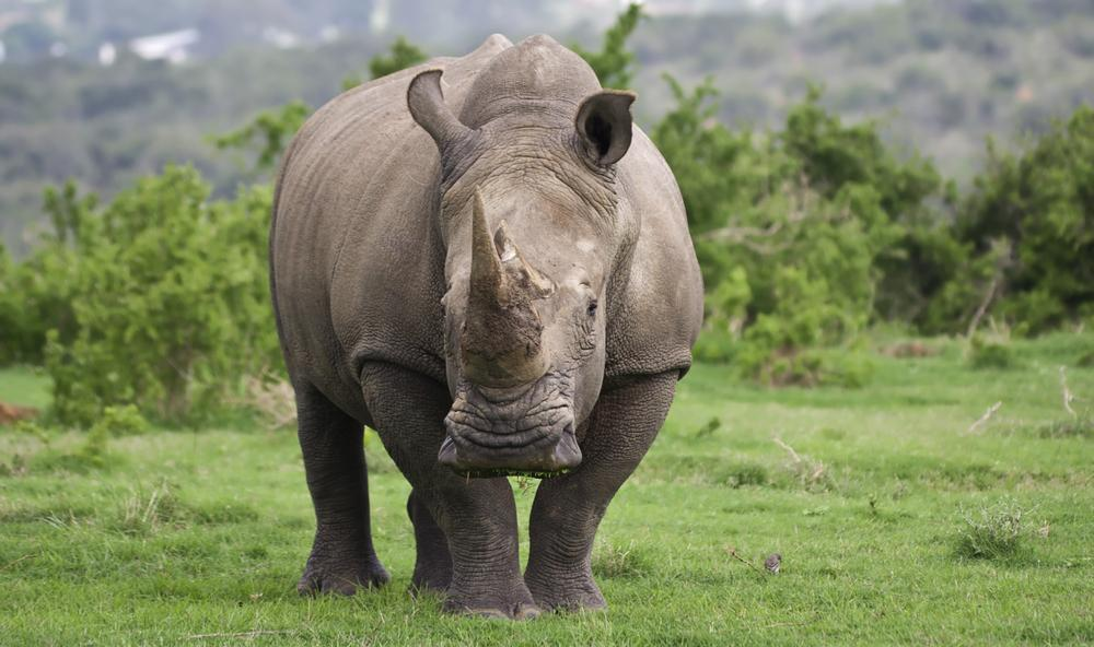 This rhino is on the verge of extinction! Save the northern white rhino!!!!